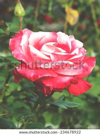 Beautiful rose in a garden - stock photo