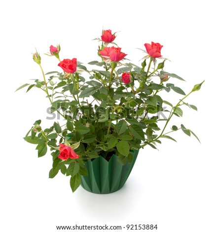 Beautiful rose in flowerpot  isolated on white background - stock photo