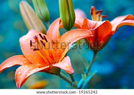 beautiful rose lilies with bud - stock photo