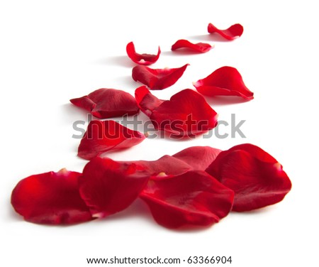 Beautiful rose petals on a white background - stock photo