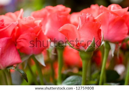 Beautiful roses background macro shot