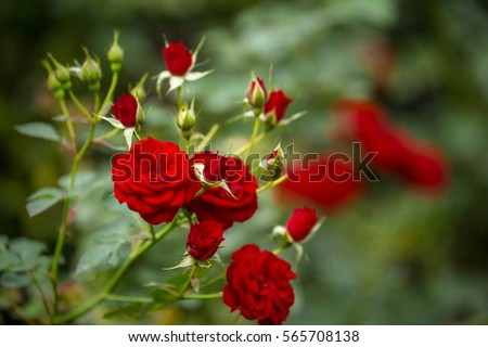 beautiful roses garden roses valentine day stockfoto lizenzfrei 565708138 shutterstock. Black Bedroom Furniture Sets. Home Design Ideas