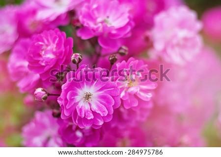 Beautiful roses in vivid colors - stock photo
