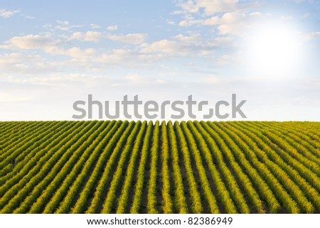 Beautiful rows of grapes winery on blue sky - stock photo