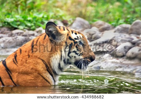 Beautiful Royal Bengal Tiger , Panthera Tigris, bathing in water. It is largest cat species and endangered , only found in Sundarban mangrove forest of India and Bangladesh. - stock photo