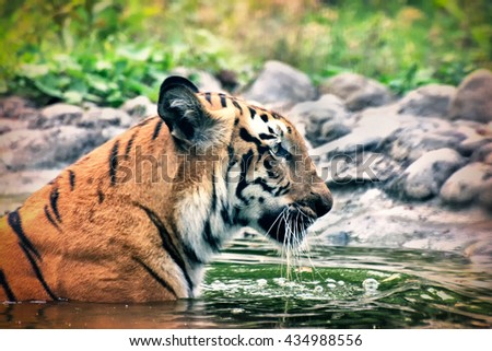 Beautiful Royal Bengal Tiger , Panthera Tigris, bathing in water. Tinted image. It is largest cat species and endangered , only found in Sundarban mangrove forest of India and Bangladesh. - stock photo