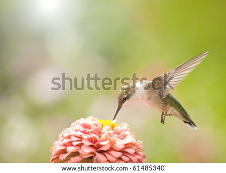 Beautiful Ruby-throated Hummingbird feeding on a pink Zinnia - stock photo