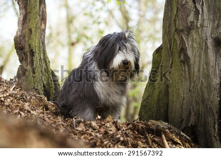 beautiful sad Bearded Collie dog Old English Sheepdog puppy in forest - stock photo