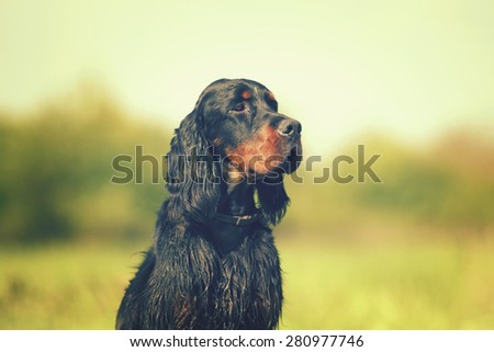 beautiful sad young gordon setter hunting in sunset nature