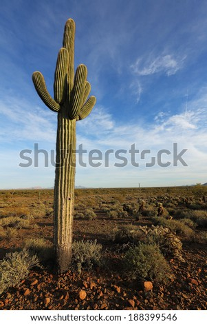 Beautiful saguaro desert cactus and blue sky