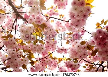Beautiful sakura for adv or others purpose use - stock photo