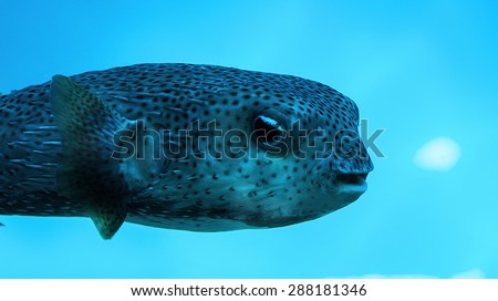 Beautiful salt water blowfish of the caribbean sea (tetraodontidae) - stock photo