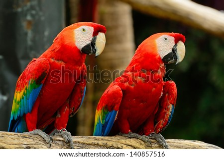 Beautiful Scarlet Macaw aviary - stock photo
