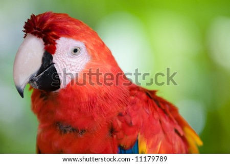 beautiful scarlet macaw close up - stock photo