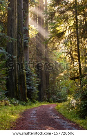 Beautiful scene of lightly traveled gravel road, curving through a green, moist, pristine redwood forest. rays of sunlight filter through a tall grove of redwood trees. Vertical format. - stock photo