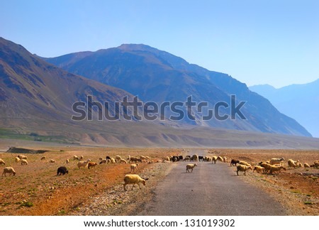 Beautiful scenic view of colorful mountain and herd of sheep crossing the road on background of clear blue sky in Karsha, Zanskar valley, Ladakh range, Jammu & Kashmir, Northern India, Central Asia