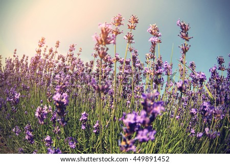 beautiful scented lavender flowers field under blue sky