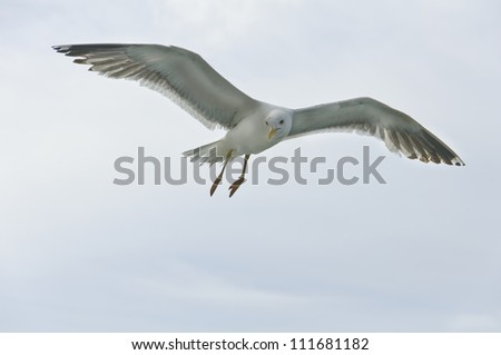 Beautiful seagull flight in the sky