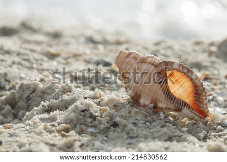 Beautiful seashell on the beach - stock photo