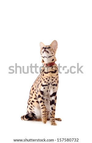 Beautiful serval (Leptailurus serval) isolated on the white background