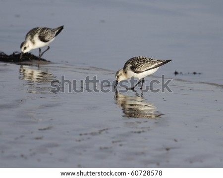 beautiful shorebird during low tide looking for food in a seaside in the north of Portugal