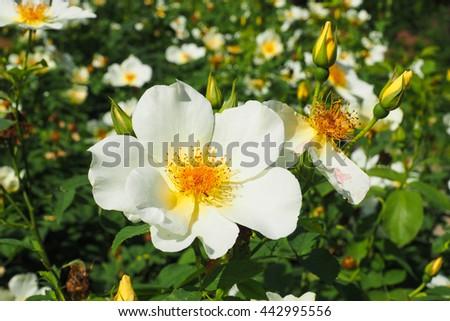 Beautiful shrub roses in the garden - stock photo