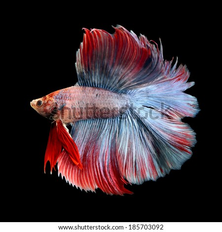 beautiful siamese fighting fish, betta fish isolated on black - stock photo