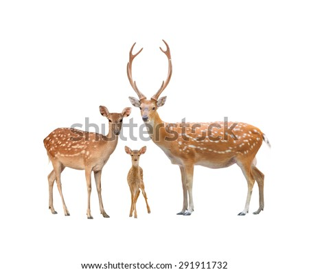 beautiful sika deer family  isolated on white background - stock photo