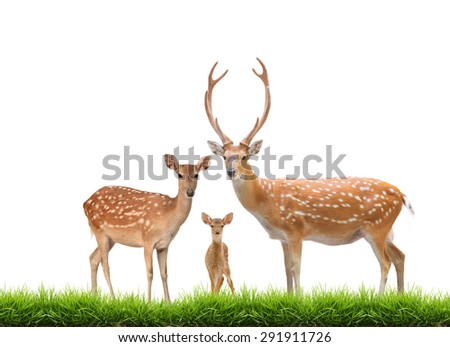 beautiful sika deer family with green grass isolated on white background - stock photo