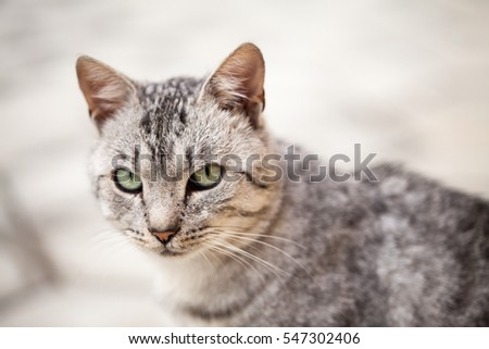 Beautiful silver cat portrait
