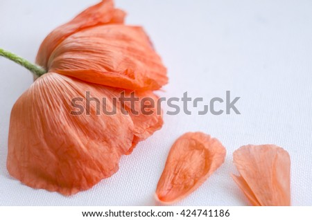 Beautiful single coral poppy flower head and petals. Bright poppy flower. Close up of delicate flower for your design. - stock photo