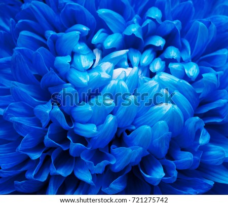 Beautiful  single Deep Blue Chrysanthemum Flower. Macro with extremely shallow dof.