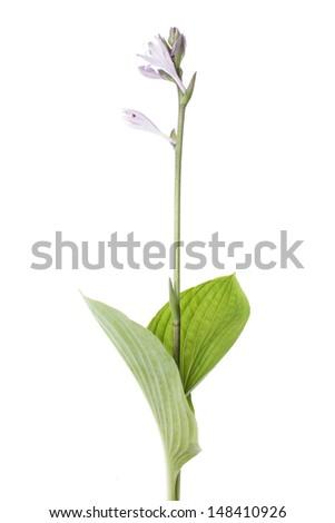 beautiful single hosta japonica isolated on white background - stock photo