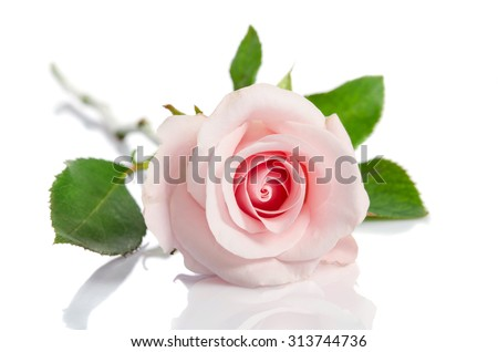 beautiful single pink rose lying down on a white background - stock photo