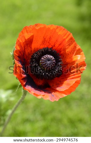 Beautiful single red poppy flower head over Green grass - stock photo
