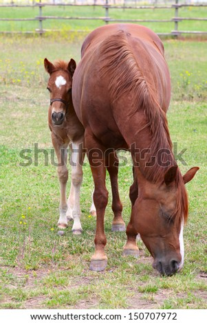 Beautiful six week old colt with his mother in pasture - stock photo