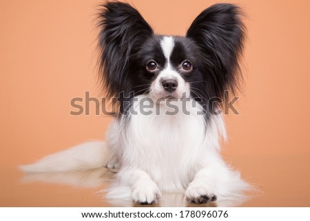 Beautiful small papillon dog with large black ears sitting on pink background