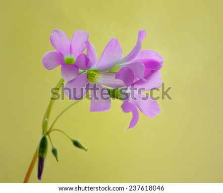 Beautiful Small Pink Sorrel Flowers on the Blurred Green Background - stock photo