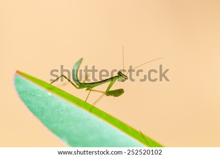 Beautiful small praying mantis (order Mantodea) in the Tsingy de Bemaraha Strict Nature Reserve in Madagascar - stock photo