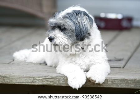 Beautiful small white dog laying on the doorstep - stock photo