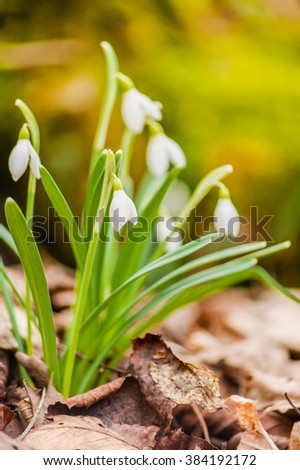 Beautiful small white snowdrop flowers in deep in the early spirng woods litter - stock photo