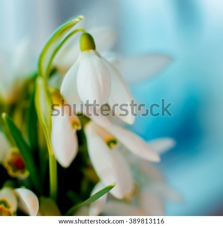 Beautiful snowdrop flower. Macro. Background
