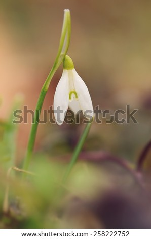 Beautiful snowdrop flowers blossom in early spring