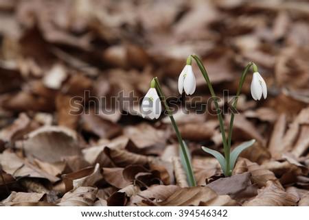 Beautiful snowdrops  - stock photo