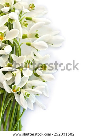 Beautiful snowdrops on white background - stock photo