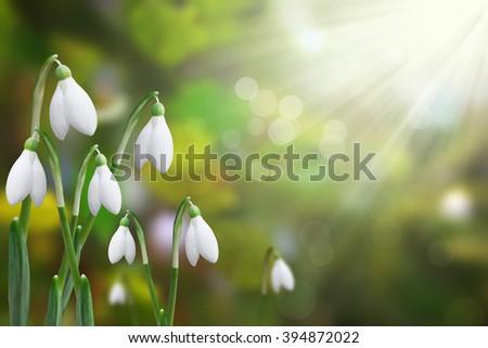 beautiful snowdrops shining in the sun - stock photo