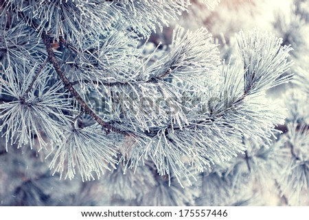 beautiful snowy pine tree branches - stock photo