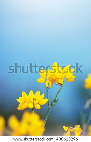 beautiful soft big meadow wild yellow flowers on natural blue sky background. Outdoor spring fresh photo