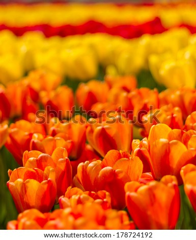 Beautiful soft focus vibrant orange and red tulips at Keukenhof Netherlands
