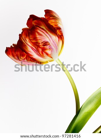 Beautiful solitary red and orange Tulip flower in spring - stock photo
